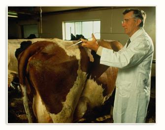 母牛同期发情的药物处理