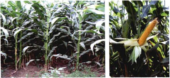 图2-1专用青贮玉米