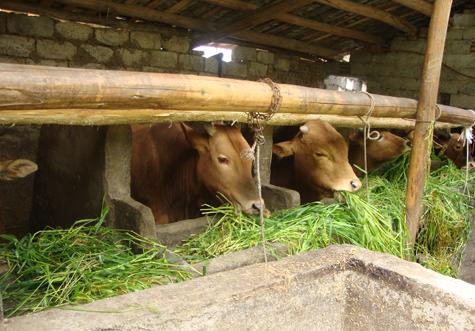 利用酒糟和青草饲喂肉牛