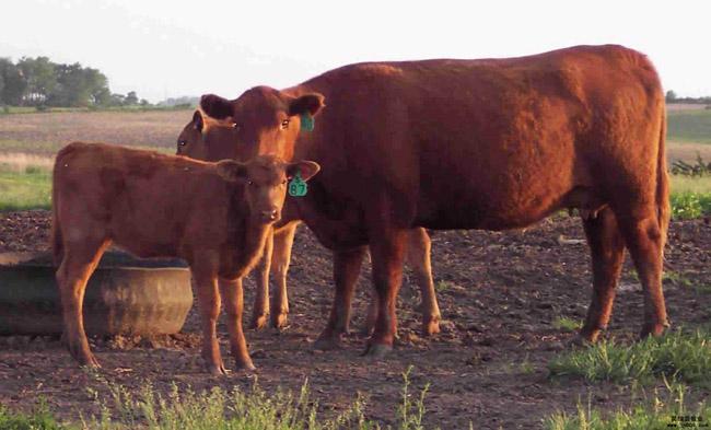 犊牛随母哺乳