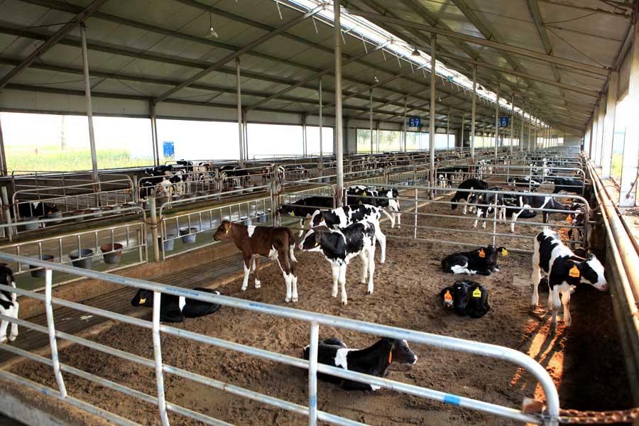 犊牛隔栏饲养