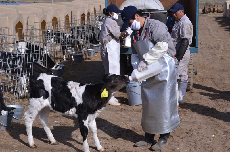 图4-7用奶瓶给新生犊牛饲喂初乳