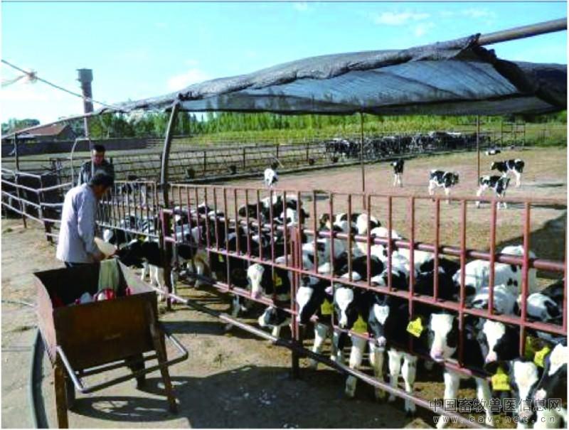 图4-27户外奶桶饲喂犊牛
