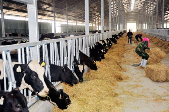 图4-38围产后期母牛采食的优质干草
