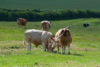 图4-39放牧新疆褐牛母牛和犊牛
