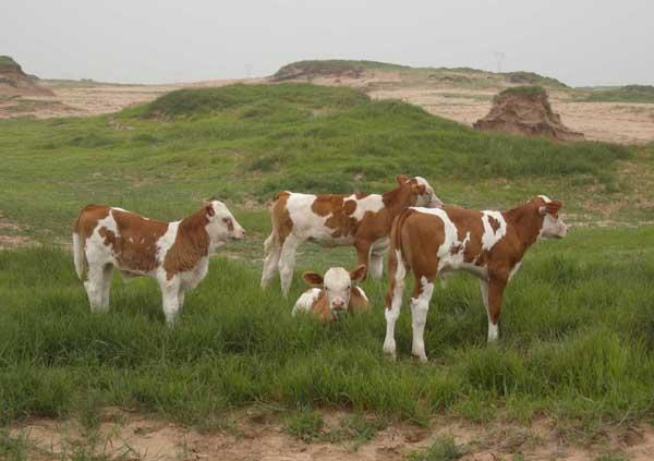 图4-40放牧犊牛