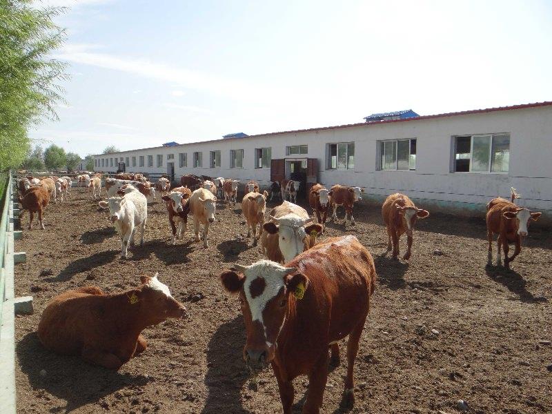 图4-42补饲牛在运动场